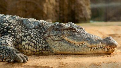 Krokodýl představje hrozbu