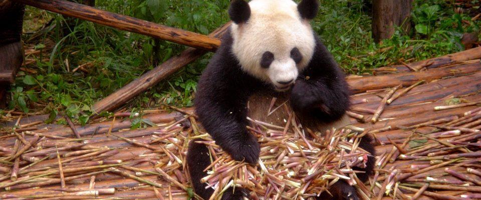 Zahrada pand v Číně
