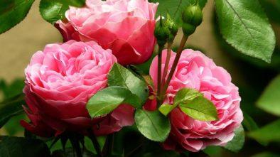 květiny pro předzahrádku