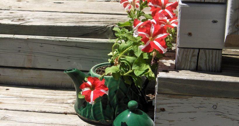 Petunie na zahradě