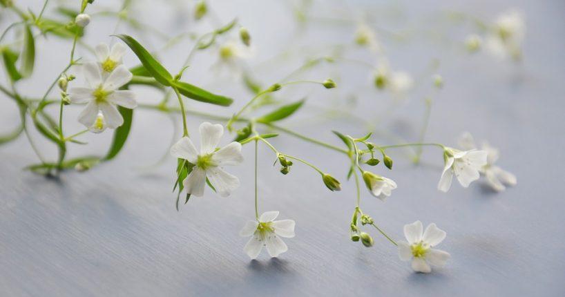 Seznamte se s bakopou, převislou rostlinou s bílými květy