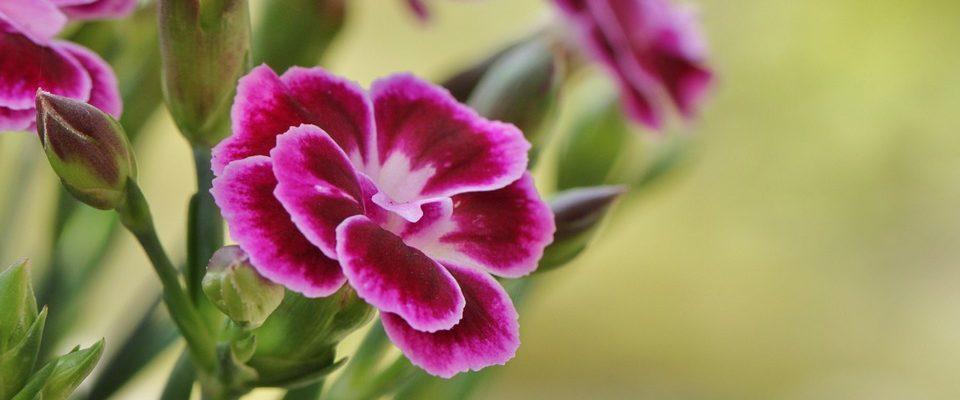 Top čtyři balkonové květiny, které rozzáří váš balkon